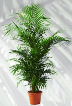 Prodotti for Kentia pianta